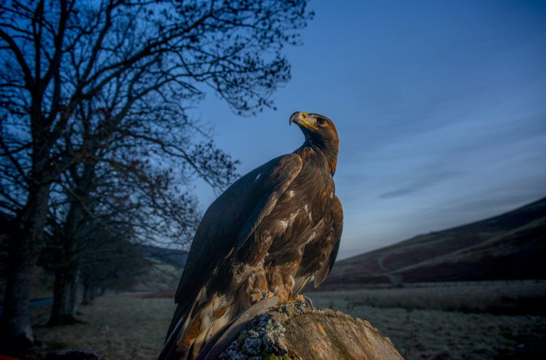 Scottish/Borders/Innerleithen Scouts launch new UK initiative to safeguard the future Golden Eagles